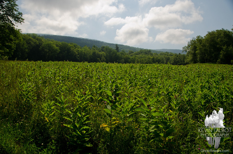 A field of Milkweed as we start out.