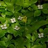 Bunchberry (Cornus canadensis), Clintonia (Clintonia borealis)
