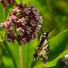 Tiger Swallowtail (Papilio glaucus) on Milkweed (Asclepias syriaca)