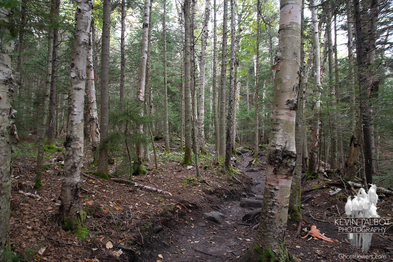Beautiful mixed forest as we ascend the Gorge Brook Trail, many fine examples of the different types of birch...