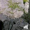 Tree in the rocks.