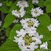 Hobblebush (Viburnum lantanoides)