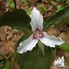 Painted Trillium (Trillium undulatum) 1.