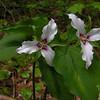 Painted Trillium (Trillium undulatum) 2.