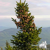 Good crop of cones on the spruce at the top of Mount Moriah.