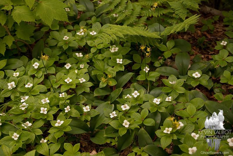 Bunchberry (Cornus canadensis) and Clintonia (Clintonia borealis)