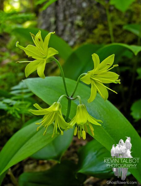 Clintonia (Clintonia borealis) or Blue Bead Lily.