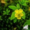 Old Field Common Cinquefoil (Potentilla simplex)
