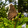This butterfly has seen better days. Maybe got beat up in a storm? Mourning Cloak (Nymphalis antiopa)