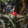 Fallen berries: American Mountain Ash (Sorbus americana)
