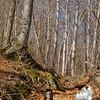 Birch grove along trail.