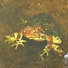 Amphibious fun! American Toad (Bufo americanus)