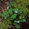 Common Wood Sorrel (Oxalis montana)