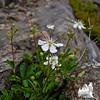Threetoothed Cinquefoil Sibbaldiopsis tridentata