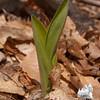 Clintonia (Clintonia borealis) No blossom yet.