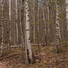 Birch glades along the Turtleback Mountain Trail.