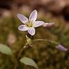 Spring Beauty (Claytonia caroliniana)