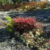 Black Spruce, Low Bush Blueberries and Reindeer Lichen.