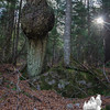 Burl & tree growing on rock...