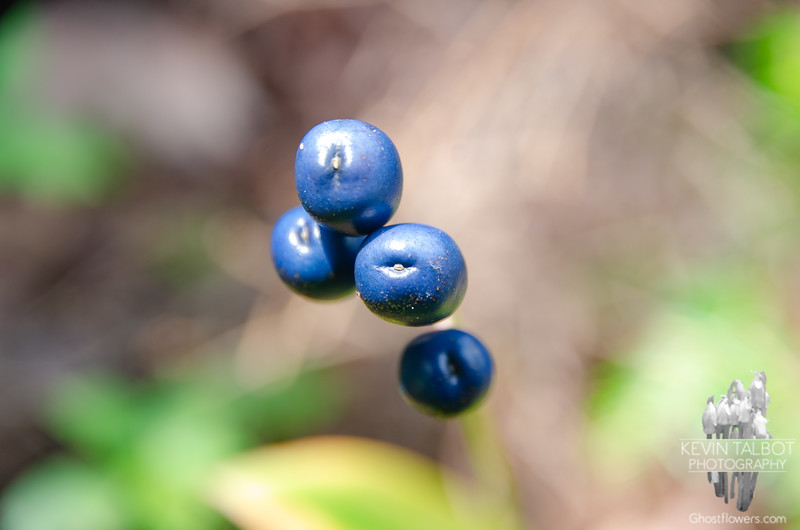 """Clintonia Seeds, or """"Blue Bead Lily"""""""
