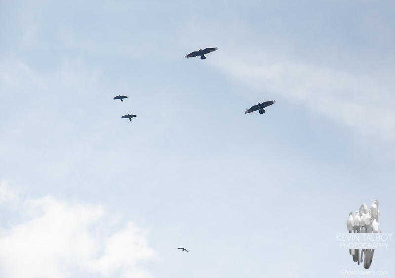 Young Ravens having a ball using their new wings and croaking voices...