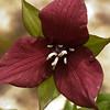 Wake Robin Trillium (Trillium erectum)