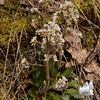 Early Saxifrage Saxifraga virginiensis