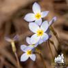 Bluets Houstonia caerulea