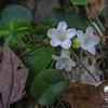 Trailing Arbutus (Epigaea repens)- Mayflower