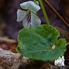 Red-stemmed Violet (Viola blanda)