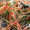 British Soldier Lichen Cladonia cristatella.