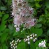 Meadow Sweet (Spiraea alba var. latifolia)