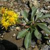 Lance-leaved Goldenrod (Euthamia graminifolia)
