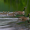 Canada Geese on The Basin 3. Canada Geese (Branta canadensis)
