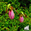 Twins. Pink Lady's Slipper (Cypripedium acaule)