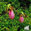 Twins. Pink Lady's Slipper (Cypripedium acaule)