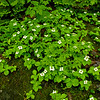 Bunchberry everywhere. Bunchberry (Cornus canadensis)