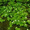 Bunchberry everywhere. Bunchberry (Cornus canadensis)
