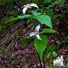 Painted Trillium (Trillium undulatum) in a col between summits.
