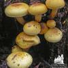 Possibly: Brickcap (Naematoloma sublateritium,)