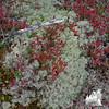 Alpine Bilberry (Vaccinium uliginosum) and Reindeer Lichen (Cladonia rangiferina)
