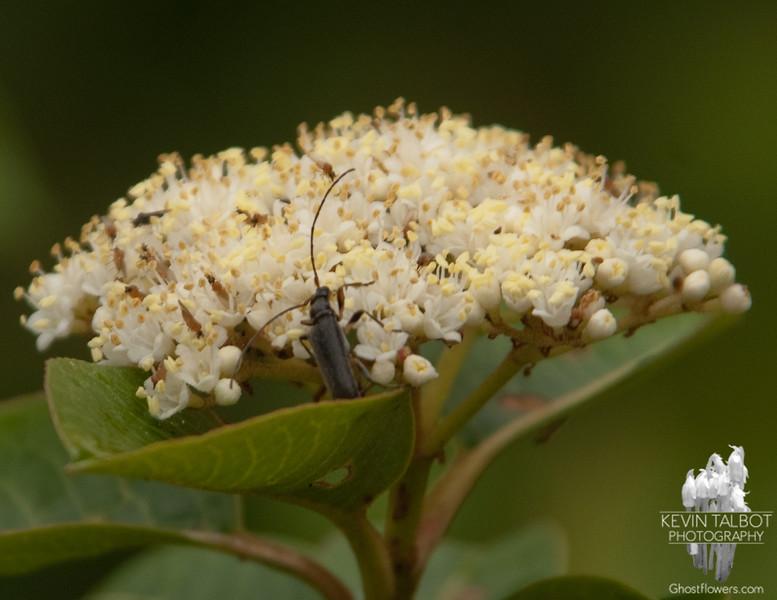 Beetle on what I think is American Elder (Sambucus canadensis)