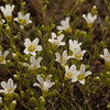 I think this might be Glabrous Sandwort (Minuartia glabra) as opposed to the more common Mountain Sandwort (Minuartia groenlandica) because of its low elevation and lack of a thick mat.