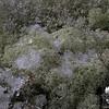 Icy Lichen.