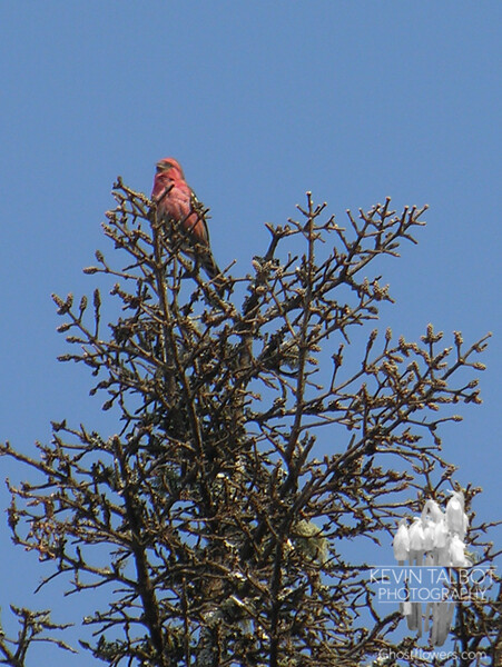 Whitewinged Crossbill (Loxia leucoptera)