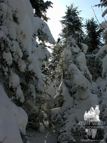 Snow-clad trees.