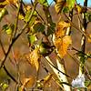 Female American Redstart.