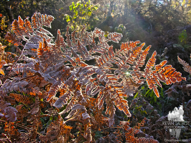 Frosted ferns 1.