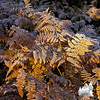 Frosted ferns 2.