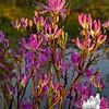 Rhodora (Rhododendron canadensis)